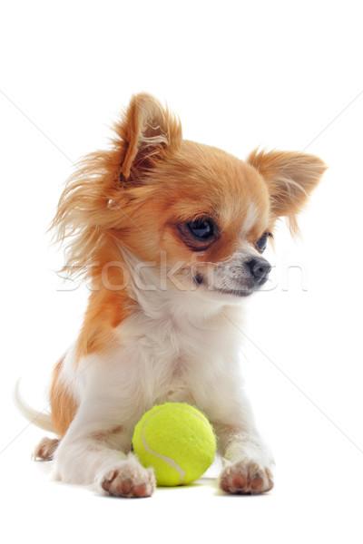 Cachorro bola retrato bonitinho branco Foto stock © cynoclub