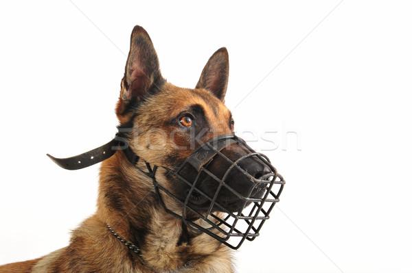 Kaganiec portret owczarek belgijski psa oczy Zdjęcia stock © cynoclub