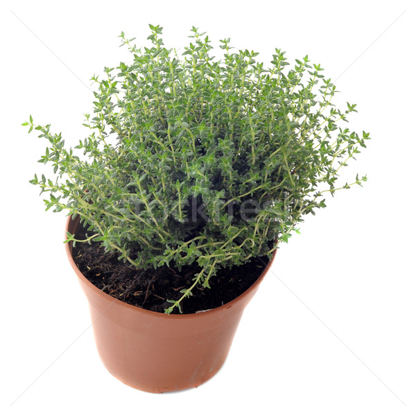 thyme in pot isolated Stock photo © cynoclub