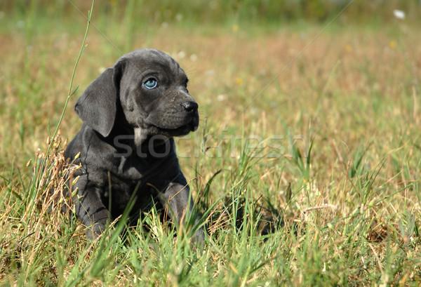 little dog in a field Stock photo © cynoclub