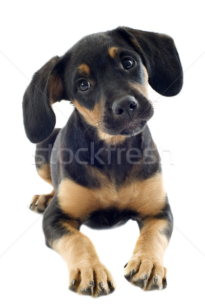 puppy doberman Stock photo © cynoclub