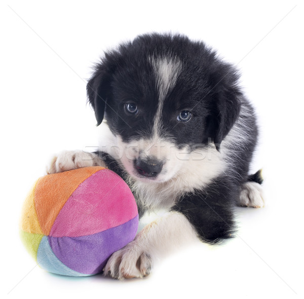 puppy border collie and ball Stock photo © cynoclub