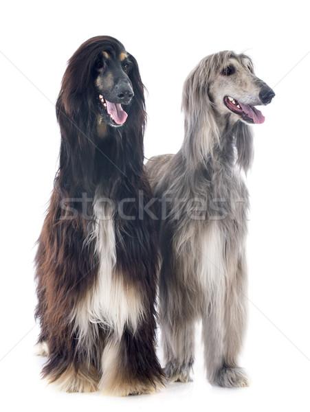 Сток-фото: собаки · студию · мех · Cute · два · серый