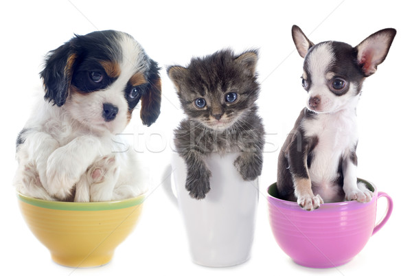 kitten and puppies in teacup Stock photo © cynoclub