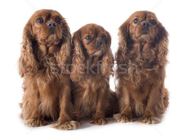 three cavalier king charles Stock photo © cynoclub
