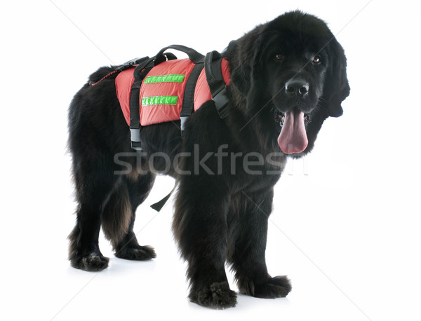 rescue newfoundland dog Stock photo © cynoclub