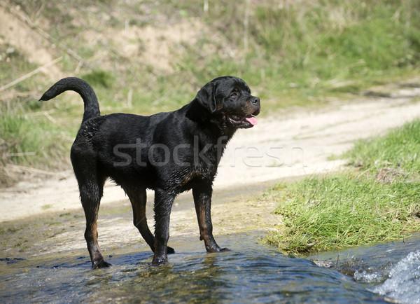 молодые ротвейлер портрет реке природы Сток-фото © cynoclub