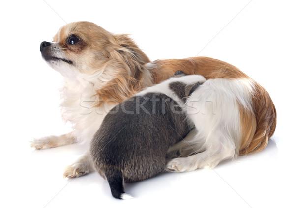 Kutyakölyök felnőtt eszik női fehér stúdió Stock fotó © cynoclub