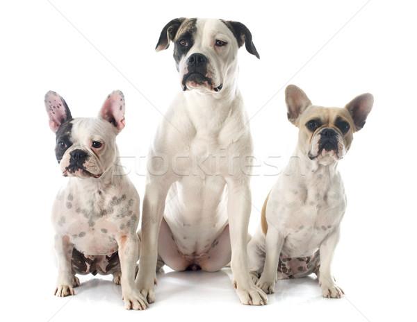 Három bulldog kettő francia fajtiszta amerikai bulldog Stock fotó © cynoclub