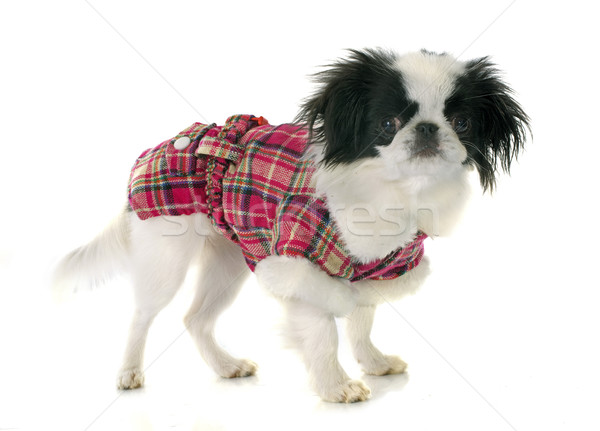 dressed japanese chin Stock photo © cynoclub