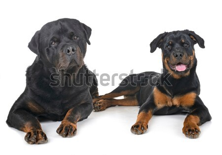 Rottweiler blanche noir Homme animal Photo stock © cynoclub