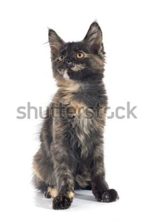 Stockfoto: Maine · kitten · witte · kat · zwarte · dier
