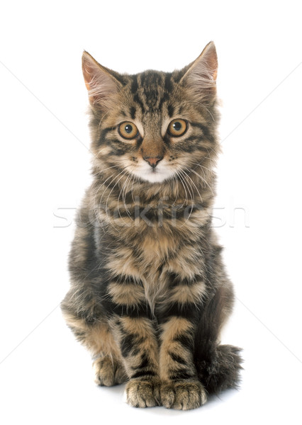 tabby kitten Stock photo © cynoclub