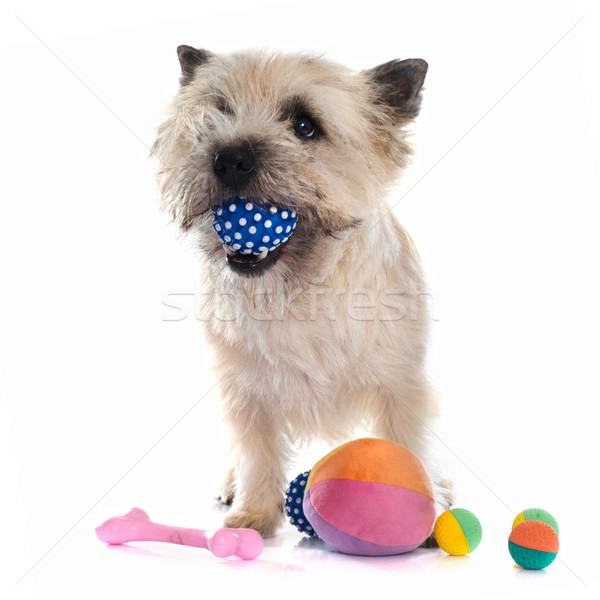 playing cairn terrier Stock photo © cynoclub