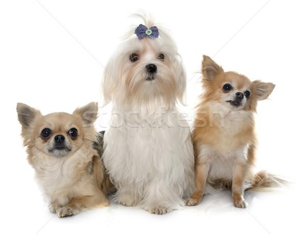 Foto stock: Perro · blanco · grupo · femenino · estudio · mascota