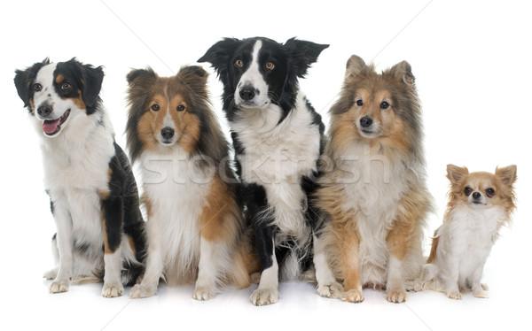five beautiful dogs Stock photo © cynoclub