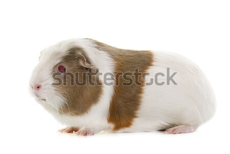 Guinée porc studio blanche rouge animaux animal Photo stock © cynoclub