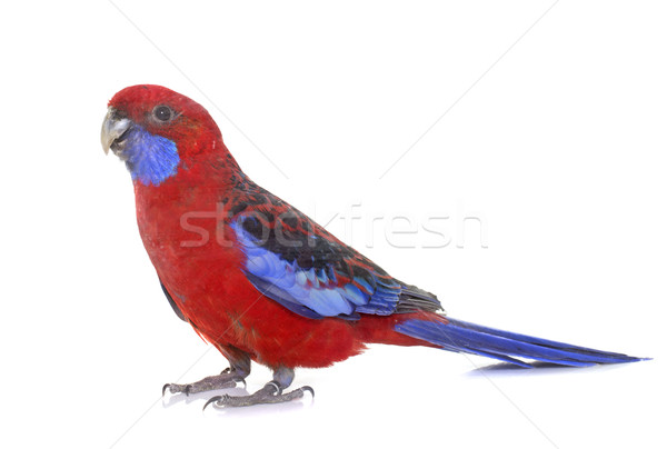 Crimson rosella in studio Stock photo © cynoclub
