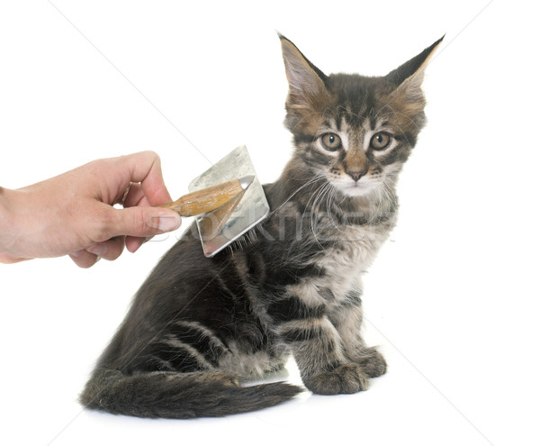 brushing maine coon kitten Stock photo © cynoclub