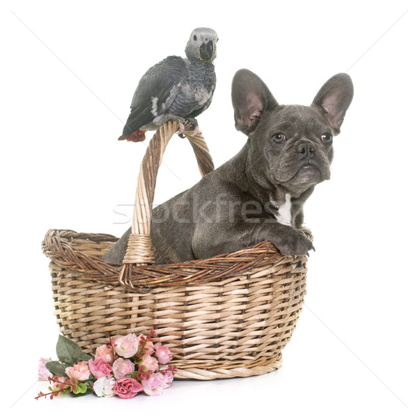 baby gray parrot and puppy bulldog Stock photo © cynoclub