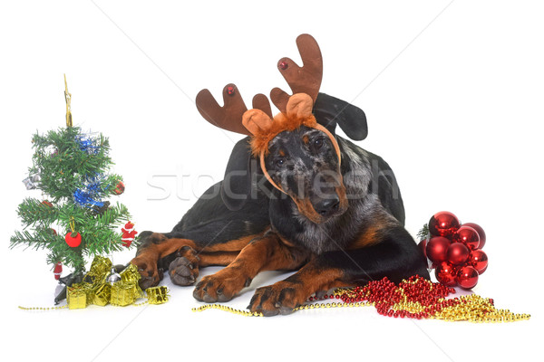 young beauceron and christmas Stock photo © cynoclub