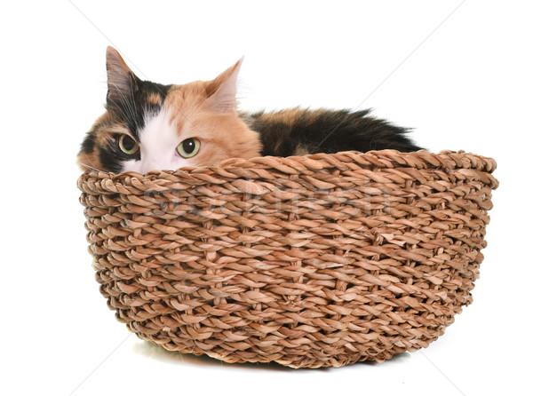 Tricolor gato estudio blanco animales cesta Foto stock © cynoclub