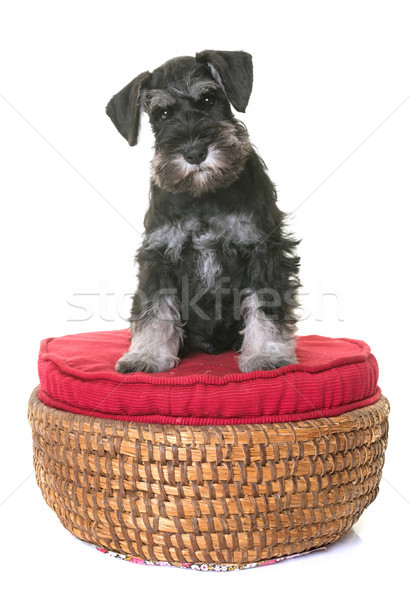 Cachorro miniatura schnauzer branco cão animal Foto stock © cynoclub