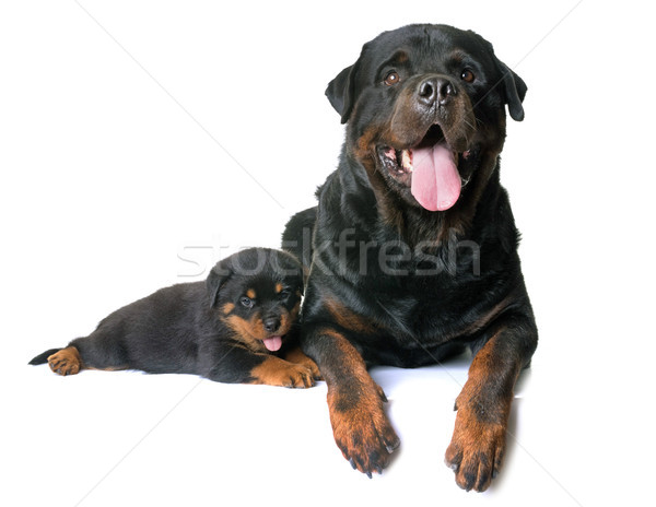 puppy and adult rottweiler Stock photo © cynoclub