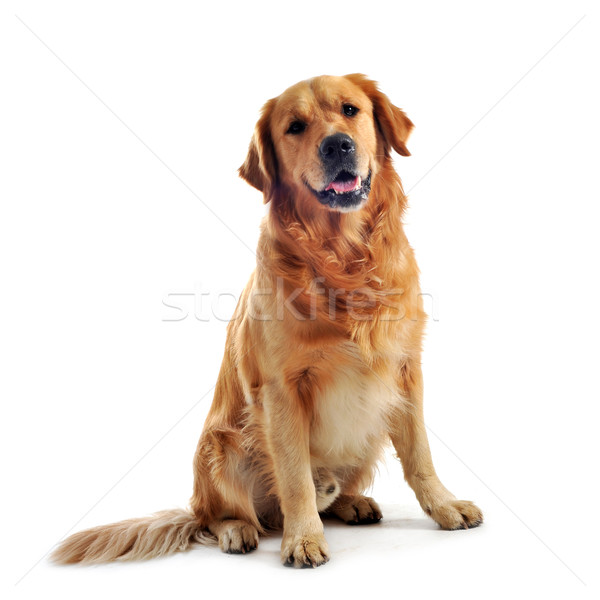 golden retriever Stock photo © cynoclub
