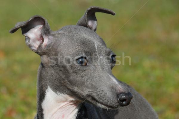 Italiano galgo perfil gris verde Foto stock © cynoclub