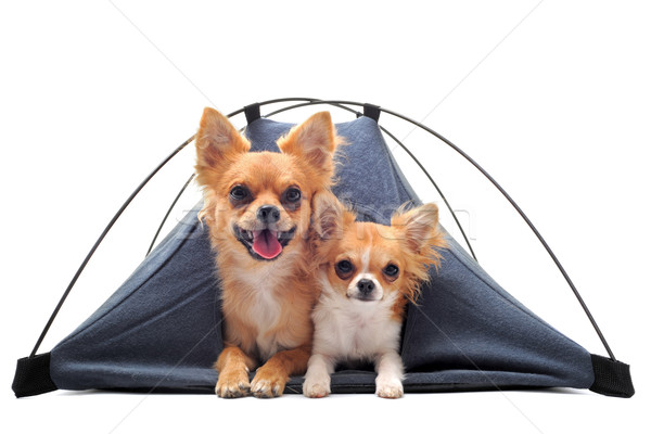 puppy and adult chihuahuas in tent Stock photo © cynoclub