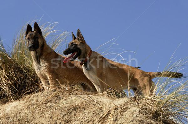 Stock fotó: Kettő · fiatal · portrék · fajtiszta · kutyák · együtt