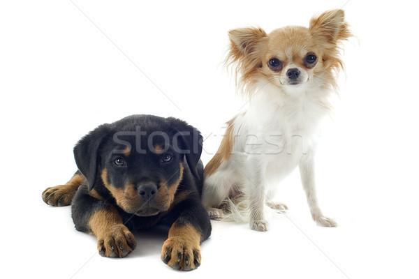 Puppy rottweiler portret zwarte jonge Stockfoto © cynoclub
