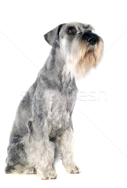 standard schnauzer Stock photo © cynoclub