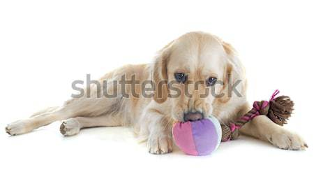 Stockfoto: Spelen · golden · retriever · witte · hond · bal · speelgoed