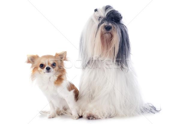tibetan terrier and chihuahua Stock photo © cynoclub