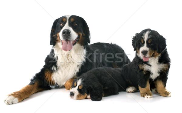 Szczeniąt dorosły psa berneński pies pasterski biały matka Zdjęcia stock © cynoclub
