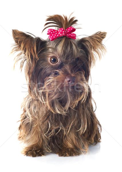 Foto stock: Chocolate · yorkshire · terrier · branco · cão