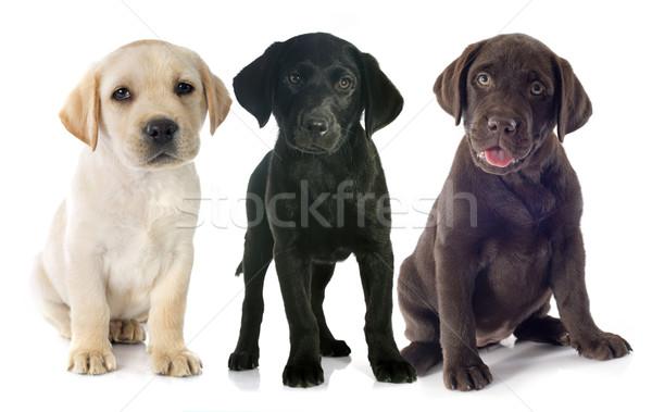 Puppies labrador retriever witte studio huisdier Stockfoto © cynoclub