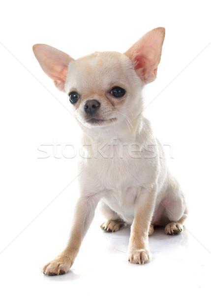 Perro blanco cachorro mascota aislado Foto stock © cynoclub