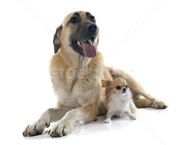 Pasteur chien studio animal adulte fond blanc Photo stock © cynoclub