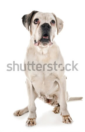 женщины Американский бульдог белый собака груди молодые Сток-фото © cynoclub
