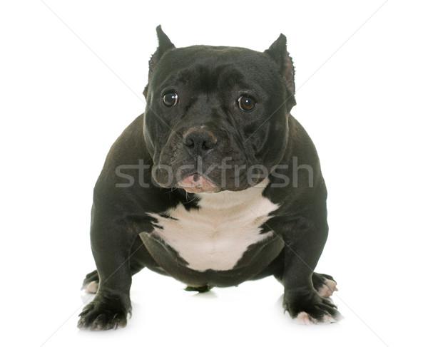 puppy american bully Stock photo © cynoclub