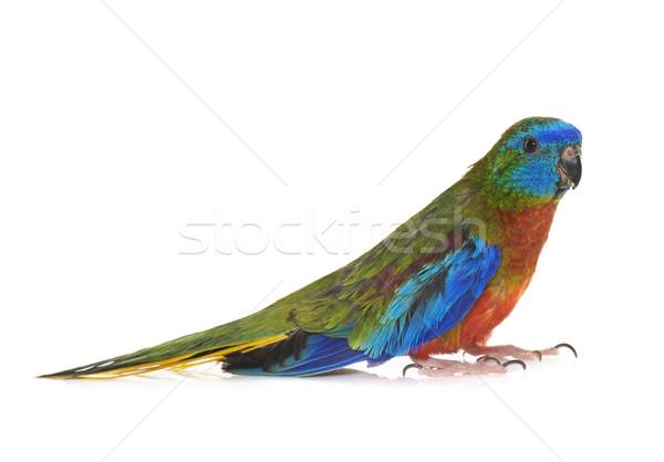 бирюзовый Parrot студию белый Сток-фото © cynoclub