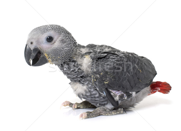baby gray parrot Stock photo © cynoclub