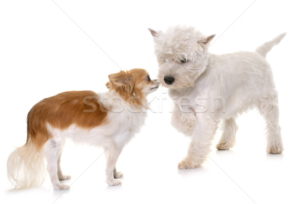 puppy west highland white terrier and chihuahua Stock photo © cynoclub