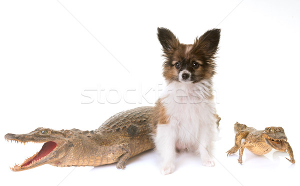 puppy pappillon dog and caiman Stock photo © cynoclub