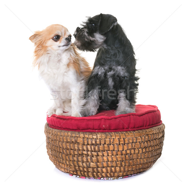 puppy miniature schnauzer and chihuahua Stock photo © cynoclub