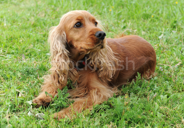 cocker spaniel Stock photo © cynoclub