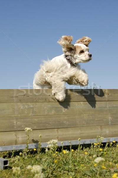 Amerikai mozgékonyság fajtiszta képzés égbolt kutya Stock fotó © cynoclub
